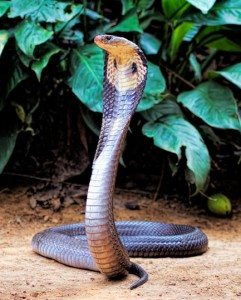 5 Animal IISIS Reincarnaiton Cobra