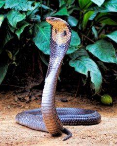 5 សត្វ IISIS Reincarnaiton Cobra