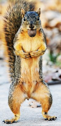 An image of a squirrel holding a nut and pose for the camera